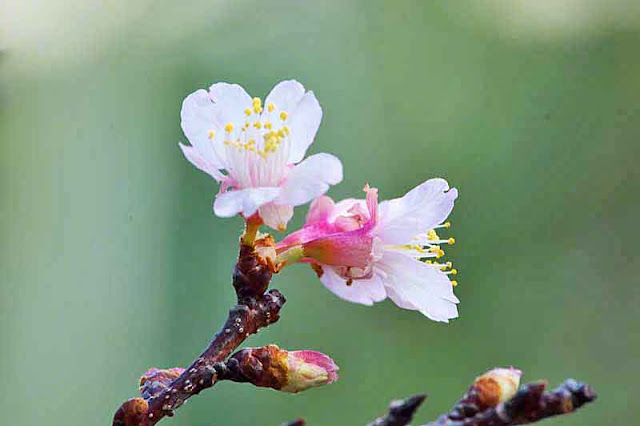 sakura, blossoms, buds, flowers
