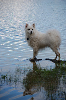 Sam, an American Eskimo Dog