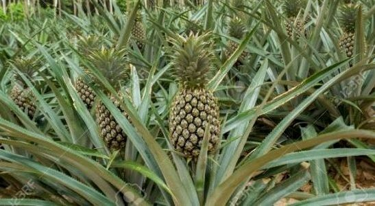 ananas in timpul sarcinii