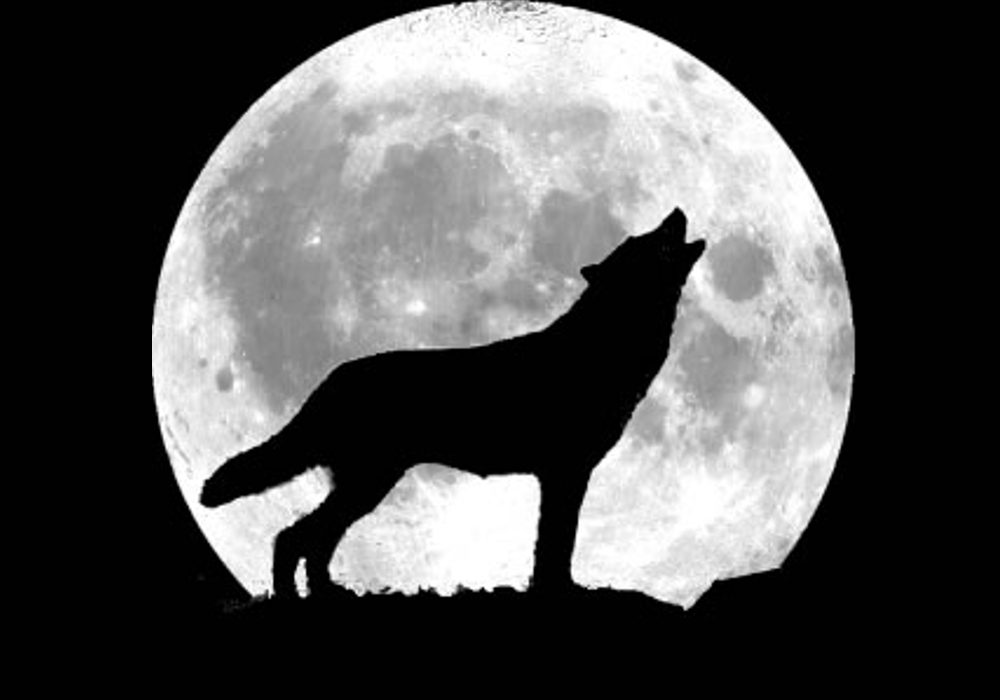 Howling Wolf Fun Animals Wiki Videos Pictures Stories