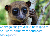 http://sciencythoughts.blogspot.co.uk/2018/03/cheirogaleus-grovesi-new-species-of.html