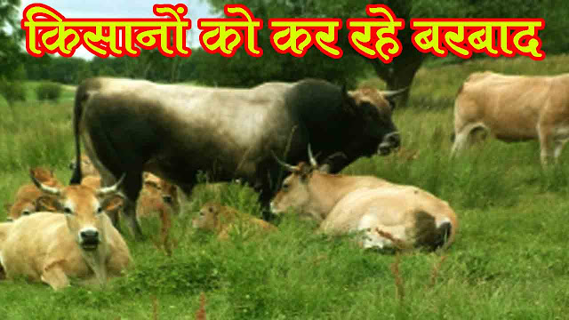 किसानो के फसल हो रहे है बरबाद