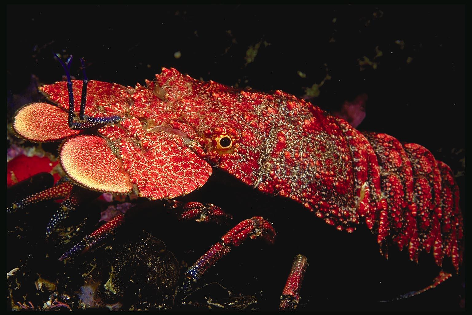 Lobster | Animal Wildlife