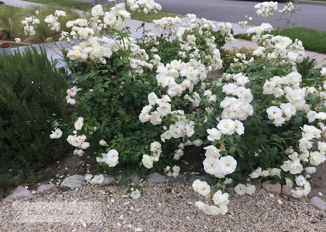 Roses make great drought tolerant plants :: OrganizingMadeFun.com