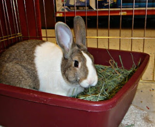 cara melatih kelinci agar tidak buang kotoran sembarangan