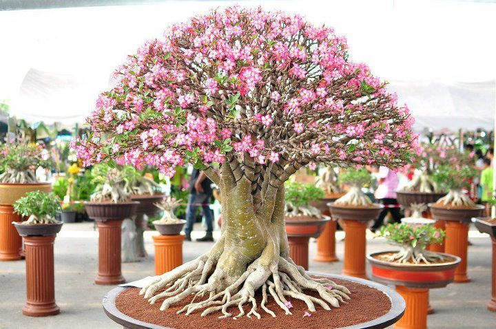 How To Grow Adenium Obesum Desert Rose Bonsai