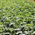 Viêm gan B: 1001 cách chữa Viêm Gan B bằng thảo dược trong dân gian!