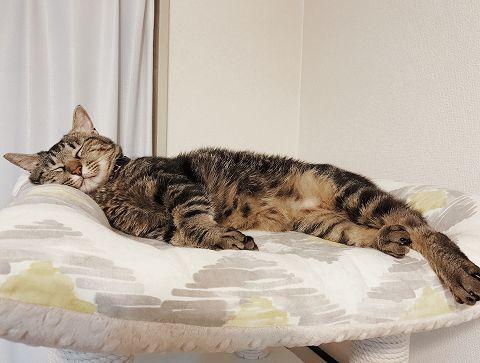 体を伸ばしきって寝ているキジトラ猫