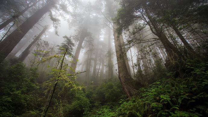 Wallpaper: Through Redwood Forest