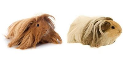 Peruvian guinea pig vs Silkie guinea pig