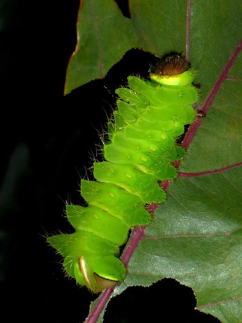 Antheraea godmani caterpillar