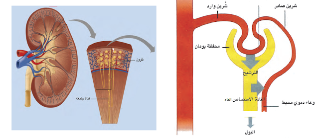 الهرمون المضاد لإدرار البول الغدة النخامية الجزء العصبى