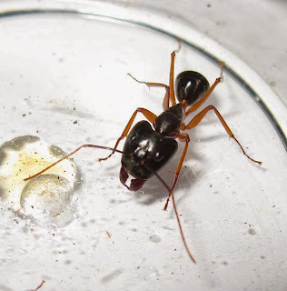 The large headed major worker of Camponotus sp
