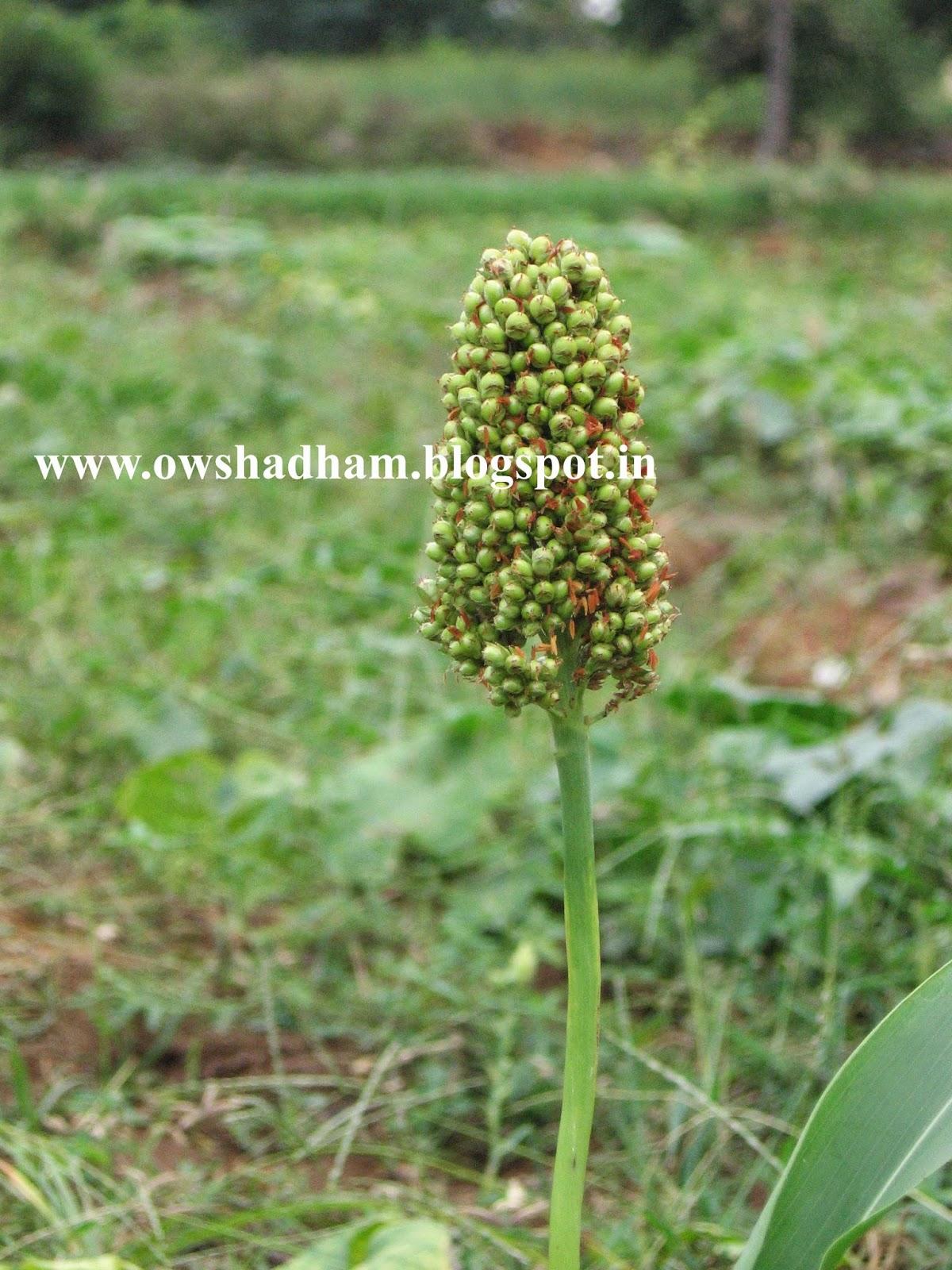 சோளம் சோள கறுது - ஔசதம்