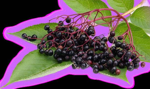 """Elderberries Extract Is Nature's """"Tamiflu"""""""