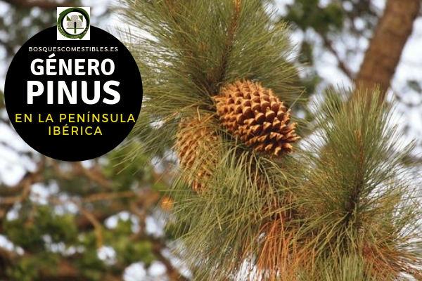 Lista de Especies del Género Pinus, Pinos, Familia Pinaceae en la Península Ibérica