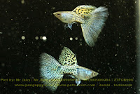 Gold Guppy Yellow, Jual Gold Guppy,  Harga Gold Guppy,  Toko Gold Guppy,  Diskon Gold Guppy,  Beli Gold Guppy,  Review Gold Guppy,  Promo Gold Guppy,  Spesifikasi Gold Guppy,  Gold Guppy Murah,  Gold Guppy Asli,  Gold Guppy Original,  Gold Guppy Jakarta,  Jenis Gold Guppy,  Budidaya Gold Guppy,  Peternak Gold Guppy,  Cara Merawat Gold Guppy,  Tips Merawat Gold Guppy,  Bagaimana cara merawat Gold Guppy,  Bagaimana mengobati Gold Guppy,  Ciri-Ciri Hamil Gold Guppy,  Kandang Gold Guppy,  Ternak Gold Guppy,  Makanan Gold Guppy,  Gold Guppy Termahal,  Adopsi Gold Guppy,  Jual Cepat Gold Guppy,  Gold Guppy  Jakarta,  Gold Guppy  Bandung,  Gold Guppy  Medan,  Gold Guppy  Bali,  Gold Guppy  Makassar,  Gold Guppy  Jambi,  Gold Guppy  Pekanbaru,  Gold Guppy  Palembang,  Gold Guppy  Sumatera,  Gold Guppy  Langsa,  Gold Guppy  Lhokseumawe,  Gold Guppy  Meulaboh,  Gold Guppy  Sabang,  Gold Guppy  Subulussalam,  Gold Guppy  Denpasar,  Gold Guppy  Pangkalpinang,  Gold Guppy  Cilegon,  Gold Guppy  Serang,  Gold Guppy  Tangerang Selatan,  Gold Guppy  Tangerang,  Gold Guppy  Bengkulu,  Gold Guppy  Gorontalo,  Gold Guppy  guppy,  Gold Guppy  tropical fish,  Gold Guppy  aquarium fish,  Gold Guppy  bubble guppies games,  Gold Guppy  guppy fish,  Gold Guppy  bubble guppies videos,  Gold Guppy  bubble guppies episodes,  Gold Guppy  bubble guppies full episodes,  Gold Guppy  super guppy,  Gold Guppy  bubble guppies cast,  Gold Guppy  aquarium online,  Gold Guppy  bubble guppies songs,  Gold Guppy  tetra aquarium,  Gold Guppy  guppies for sale,  Gold Guppy  pregnant guppy,  Gold Guppy  bubble guppies characters,  Gold Guppy  bubble guppy,  Gold Guppy  bubble guppies names,  Gold Guppy  guppies fish,  Gold Guppy  guppy breeding,  Gold Guppy  breeding guppies,  Gold Guppy  bubble guppie,  Gold Guppy  nick jr bubble guppies,  Gold Guppy  bubble guppies coloring pages,  Gold Guppy  bubble guppies video,  Gold Guppy  bubble guppy games,  Gold Guppy  guppy aquarium,  Gold Guppy  guppy care,  Gold Guppy  baby guppies,  Gold Guppy  design aquarium,  Gold Guppy  how to breed guppies,  Gold Guppy  endlers guppy,  Gold Guppy  bubble guppies wiki,  Gold Guppy  bubble guppies game,  Gold Guppy  guppies care,  Gold Guppy  guppy fry,  Gold Guppy  male guppies,  Gold Guppy  buble guppies,  Gold Guppy  guppy fish care,  Gold Guppy  female guppies,  Gold Guppy  female guppy,  Gold Guppy  guppy tank,  Gold Guppy  types of guppies,  Gold Guppy  online aquarium,  Gold Guppy  guppies aquarium,  Gold Guppy  pregnant guppies,  Gold Guppy  guppy giving birth,  Gold Guppy  what do guppies eat,  Gold Guppy  guppy life span,  Gold Guppy  guppy pond,  Gold Guppy  guppy grass,  Gold Guppy  guppies breeding,  Gold Guppy  aquarium guppy,  Gold Guppy  guppies giving birth,  Gold Guppy  bubble guppies pictures,  Gold Guppy  bubble guppies show,  Gold Guppy  male guppy,  Gold Guppy  guppy fish for sale,  Gold Guppy  pregnant guppy fish,  Gold Guppy  endler guppies,  Gold Guppy  guppy babies,  Gold Guppy  the bubble guppies,  Gold Guppy  bubble guppies images,  Gold Guppy  bubble guppies bubble puppy,  Gold Guppy  guppy food,  Gold Guppy  ferplast aquarium,  Gold Guppy  guppy temperature,  Gold Guppy  the binding isaac,  Gold Guppy  guppy tail,  Gold Guppy  the rebirth of isaac,  Gold Guppy  the binding of isaac rebirth guppy,  Gold Guppy  isaac the game,  Gold Guppy  guppie fish,  Gold Guppy  guppy fish breeding,  Gold Guppy  guppy for sale,  Gold Guppy  guppy tank mates,  Gold Guppy  aquarium shop online,  Gold Guppy  guppy gestation,  Gold Guppy  the binding of isaac guppy,  Gold Guppy  keeping guppies,  Gold Guppy  guppy definition,  Gold Guppy  guppy meaning,  Gold Guppy  guppy breathing,  Gold Guppy  fish tropical,  Gold Guppy  endlers guppies,  Gold Guppy  baby guppy,  Gold Guppy  nickelodeon bubble guppies,  Gold Guppy  guppy fish tank,  Gold Guppy  guppy types,  Gold Guppy  guppy fish types,  Gold Guppy  guppy diseases,  Gold Guppy  the binding of isaac 2,  Gold Guppy  isaac the binding,  Gold Guppy  wild guppies,  Gold Guppy  wild guppy,  Gold Guppy  fantail guppies,  Gold Guppy  guppy pregnancy,  Gold Guppy  lyretail guppy,  Gold Guppy  pregnant guppy stages,  Gold Guppy  guppy pregnant,  Gold Guppy  male and female guppies,  Gold Guppy  bubble guppys,  Gold Guppy  guppy birth,  Gold Guppy  do guppies need a heater,  Gold Guppy  pictures of guppies,  Gold Guppy  guppy fish life span,  Gold Guppy  guppy water temperature,  Gold Guppy  show guppies,  Gold Guppy  black guppy,  Gold Guppy  red guppy,  Gold Guppy  binding isaac wiki,  Gold Guppy  binding of isaac 2,  Gold Guppy  moscow guppy,  Gold Guppy  guppy forum,  Gold Guppy  guppies online,  Gold Guppy  fantail guppy,  Gold Guppy  yellow guppy,  Gold Guppy  snakeskin guppy,  Gold Guppy  guppy fry growth chart,  Gold Guppy  guppy fish food,  Gold Guppy  temperature for guppies,  Gold Guppy  water temperature for guppies,  Gold Guppy  guppy games,  Gold Guppy  black moscow guppy,  Gold Guppy  full red guppy,  Gold Guppy  blue moscow guppy,  Gold Guppy  game isaac,  Gold Guppy  male guppy fish,  Gold Guppy  guppy varieties,  Gold Guppy  albino guppy,  Gold Guppy  guppy pregnancy stages,  Gold Guppy  tequila sunrise guppy,  Gold Guppy  guppy fin rot,  Gold Guppy  guppy genetics,  Gold Guppy  pink guppy,  Gold Guppy  the guppy,  Gold Guppy  highland guppy,  Gold Guppy  guppy breeding tank,  Gold Guppy  guppy breeds,  Gold Guppy  show guppies for sale,  Gold Guppy  guppies for sale uk,  Gold Guppy  is my guppy pregnant,  Gold Guppy  guppies having babies,  Gold Guppy  guppy female,  Gold Guppy  guppy fry care,  Gold Guppy  do guppies need a filter,  Gold Guppy  do guppies eat their babies,  Gold Guppy  do guppies sleep,  Gold Guppy  aquarium 40 liter,  Gold Guppy  guppy game,  Gold Guppy  neon guppies,  Gold Guppy  neon guppy,  Gold Guppy  guppy neon,  Gold Guppy  isaac of binding,  Gold Guppy  moscow blue guppy,  Gold Guppy  guppy tail rot,  Gold Guppy  isaac the rebirth,  Gold Guppy  fish guppies,  Gold Guppy  guppies dying,  Gold Guppy  guppy species,  Gold Guppy  guppy gravid spot,  Gold Guppy  the of isaac,  Gold Guppy  breeding guppies for beginners,  Gold Guppy  guppy breeding cycle,  Gold Guppy  female guppies for sale,  Gold Guppy  guppies pregnant,  Gold Guppy  pregnant female guppy,  Gold Guppy  caring for guppies,  Gold Guppy  guppies babies,  Gold Guppy  guppy fry growth,  Gold Guppy  guppy tank setup,  Gold Guppy  guppy fish giving birth,  Gold Guppy  guppy fry food,  Gold Guppy  different types of guppies,  Gold Guppy  types of guppy,  Gold Guppy  guppy pictures,  Gold Guppy  aquarium voor beginners,  Gold Guppy  guppy life cycle,  Gold Guppy  guppies temperature,  Gold Guppy  guppy gestation period,  Gold Guppy  the binding of the isaac,  Gold Guppy  feeding guppies,  Gold Guppy  guppi fish,  Gold Guppy  guppy fish facts,  Gold Guppy  guppy breeders,  Gold Guppy  guppy wiki,  Gold Guppy  freshwater guppies,  Gold Guppy  rare guppies,  Gold Guppy  raising guppies,  Gold Guppy  guppy colors,  Gold Guppy  guppy strains,  Gold Guppy  guppy size,  Gold Guppy  turquoise guppy,  Gold Guppy  leopard guppy,  Gold Guppy  guppy love,  Gold Guppy  guppy images,  Gold Guppy  guppy plant,  Gold Guppy  water temp for guppies,  Gold Guppy  guppy breeding setup,  Gold Guppy  guppies for sale online,  Gold Guppy  guppys aquarium,  Gold Guppy  guppy fish pregnant,  Gold Guppy  guppy care sheet,  Gold Guppy  endler guppy hybrid,  Gold Guppy  baby guppy fish,  Gold Guppy  female guppy fish,  Gold Guppy  bubble guppies nickelodeon,  Gold Guppy  guppy tanks,  Gold Guppy  guppies food,  Gold Guppy  best food for guppies,  Gold Guppy  tropical guppies,  Gold Guppy  black guppy fish,  Gold Guppy  black moscow guppies,  Gold Guppy  gestation period for guppies,  Gold Guppy  blue neon guppy,  Gold Guppy  red mosaic guppy,  Gold Guppy  betta and guppies,  Gold Guppy  guppy fishes,  Gold Guppy  fish compatible with guppies,  Gold Guppy  what is a guppy fish,  Gold Guppy  guppy s,  Gold Guppy  guppy guppy,  Gold Guppy  guppy facts,  Gold Guppy  guppy behavior,  Gold Guppy  green guppy,  Gold Guppy  white guppy,  Gold Guppy  guppy dropsy,  Gold Guppy  purple guppy,  Gold Guppy  bloated guppy,  Gold Guppy  angelfish and guppies,  Gold Guppy  fin rot guppy,  Gold Guppy  guppies keep dying,  Gold Guppy  mollies and guppies,  Gold Guppy  stages of guppy pregnancy,  Gold Guppy  south african guppies,  Gold Guppy  mosaic guppy,  Gold Guppy  guppy cartoon,  Gold Guppy  breeding guppy,  Gold Guppy  aquarium guppies,  Gold Guppy  pregnant guppie,  Gold Guppy  female guppy pregnant,  Gold Guppy  guppy tank size,  Gold Guppy  guppies tank mates,  Gold Guppy  do guppies give live birth,  Gold Guppy  buy guppies,  Gold Guppy  food for guppies,  Gold Guppy  types of guppy fish,  Gold Guppy  guppy disease,  Gold Guppy  tropical fish guppies,  Gold Guppy  black guppies,  Gold Guppy  guppy black,  Gold Guppy  red guppies,  Gold Guppy  red guppy fish,  Gold Guppy  moscow guppies,  Gold Guppy  guppies and bettas,  Gold Guppy  guppy fish information,  Gold Guppy  guppy fish images,  Gold Guppy  all about guppies,  Gold Guppy  guppy breeder,  Gold Guppy  guppys online,  Gold Guppy  guppy poecilia reticulata,  Gold Guppy  guppy a,  Gold Guppy  purple guppies,  Gold Guppy  beautiful guppies,  Gold Guppy  guppy pdf,  Gold Guppy  guppy swimming vertically,  Gold Guppy  guppy names,  Gold Guppy  yellow guppies,  Gold Guppy  male guppies fighting,  Gold Guppy  guppies and tetras,  Gold Guppy  saltwater guppies,  Gold Guppy  guppies and mollies,  Gold Guppy  the guppies,  Gold Guppy  breeding guppies in community tank,  Gold Guppy  breed guppies,  Gold Guppy  live guppies for sale,  Gold Guppy  guppies fish for sale,  Gold Guppy  breeding guppies for profit,  Gold Guppy  guppies aquarium products,  Gold Guppy  taking care of guppies,  Gold Guppy  guppies fish care,  Gold Guppy  john endler guppies,  Gold Guppy  guppy fish babies,  Gold Guppy  male and female guppy,  Gold Guppy  guppy fry development,  Gold Guppy  guppy fry stages,  Gold Guppy  guppies fish tank,  Gold Guppy  guppies tank,  Gold Guppy  guppy fry tank,  Gold Guppy  female guppy giving birth,  Gold Guppy  pregnant guppy giving birth,  Gold Guppy  guppies birth,  Gold Guppy  guppy give birth,  Gold Guppy  guppies types,  Gold Guppy  how much do guppies cost,  Gold Guppy  do guppies eat algae,  Gold Guppy  guppy diseases pictures,  Gold Guppy  pregnant guppy pictures,  Gold Guppy  pictures of guppy fish,  Gold Guppy  guppy fish diseases,  Gold Guppy  show guppy,  Gold Guppy  guppy tropical fish,  Gold Guppy  guppies tropical fish,  Gold Guppy  half black guppy,  Gold Guppy  neon blue guppy,  Gold Guppy  guppies and neon tetras,  Gold Guppy  binding of the isaac,  Gold Guppy  moscow blue guppies,  Gold Guppy  of isaac game,  Gold Guppy  feeding guppy fry,  Gold Guppy  game the binding of isaac,  Gold Guppy  the binding of isaac the game,  Gold Guppy  blue guppy fish,  Gold Guppy  fish that can live with guppies,  Gold Guppy  images of guppy fish,  Gold Guppy  guppy online,  Gold Guppy  albino guppies,  Gold Guppy  pics of guppies,  Gold Guppy  my guppies keep dying,  Gold Guppy  guppy colours,  Gold Guppy  guppy growth chart,  Gold Guppy  golden guppy,  Gold Guppy  colorful guppies,  Gold Guppy  columnaris guppy,  Gold Guppy  guppy diet,  Gold Guppy  dragon guppy,  Gold Guppy  atfg guppy,  Gold Guppy  blue diamond guppy,  Gold Guppy  gold guppy,  Gold Guppy  guppy scientific name,  Gold Guppy  guppies fighting,  Gold Guppy  pingu guppy,  Gold Guppy  trinidadian guppies,  Gold Guppy  dropsy guppy,  Gold Guppy  fat guppy,  Gold Guppy  guppy guppies,  Gold Guppy  guppy singapore,  Gold Guppy  sunset guppy,  Gold Guppy  guppy natural habitat,  Gold Guppy  guppies breeding cycle,  Gold Guppy  breeding tank for guppies,  Gold Guppy  guppy breeding guide,  Gold Guppy  guppies fish breeding,  Gold Guppy  guppy breeding trap,  Gold Guppy  guppy breeding tank setup,  Gold Guppy  guppy sale,  Gold Guppy  rare guppies for sale,  Gold Guppy  endler guppies for sale,  Gold Guppy  aquarium de guppy,  Gold Guppy  pregnant guppy behavior,  Gold Guppy  guppie care,  Gold Guppy  guppy care guide,  Gold Guppy  baby guppy care,  Gold Guppy  guppy having babies,  Gold Guppy  guppies male or female,  Gold Guppy  guppies female,  Gold Guppy  guppy fish female,  Gold Guppy  guppies fry,  Gold Guppy  raising guppy fry,  Gold Guppy  guppy birth signs,  Gold Guppy  guppies live birth,  Gold Guppy  guppy fish pictures,  Gold Guppy  guppies pictures,  Gold Guppy  female guppy pictures,  Gold Guppy  life cycle of a guppy,  Gold Guppy  guppies water temperature,  Gold Guppy  tropical fish guppy,  Gold Guppy  tropical guppy,  Gold Guppy  moscow black guppy,  Gold Guppy  neon tetras and guppies,  Gold Guppy  guppy tails,  Gold Guppy  guppy feeding,  Gold Guppy  bettas and guppies,  Gold Guppy  guppies and betta,  Gold Guppy  can guppies live with bettas,  Gold Guppy  guppy fish price,  Gold Guppy  guppy fish varieties,  Gold Guppy  wild guppy fish,  Gold Guppy  guppys fish,  Gold Guppy  guppies information,  Gold Guppy  free guppies,  Gold Guppy  blue glass guppy,  Gold Guppy  guppy d,  Gold Guppy  pink guppies,  Gold Guppy  guppy behaviour,  Gold Guppy  common guppy,  Gold Guppy  ribbon guppy,  Gold Guppy  kinds of guppies,  Gold Guppy  gonopodium guppy,  Gold Guppy  rare guppy,  Gold Guppy  guppy compatibility,  Gold Guppy  pretty guppies,  Gold Guppy  snakeskin guppies,  Gold Guppy  guppy anatomy,  Gold Guppy  green guppies,  Gold Guppy  guppies in the wild,  Gold Guppy  guppy growth,  Gold Guppy  guppy water temp,  Gold Guppy  guppy swim bladder,  Gold Guppy  german yellow guppy,  Gold Guppy  guppy videos,  Gold Guppy  cartoon guppy,  Gold Guppy  guppy not eating,  Gold Guppy  exotic guppy,  Gold Guppy  breeding guppys,  Gold Guppy  breeding guppy fish,  Gold Guppy  guppies for sale cheap,  Gold Guppy  guppy breed,  Gold Guppy  cheap guppies for sale,  Gold Guppy  wild guppies for sale,  Gold Guppy  guppys for sale,  Gold Guppy  baby guppies for sale,  Gold Guppy  guppy fry for sale,  Gold Guppy  guppy fish aquarium,  Gold Guppy  aquarium fish guppy,  Gold Guppy  care for guppies,  Gold Guppy  bubble guppies nick,  Gold Guppy  nick bubble guppies,  Gold Guppy  guppie fry,  Gold Guppy  caring for guppy fry,  Gold Guppy  guppy fish tanks,  Gold Guppy  female guppies giving birth,  Gold Guppy  where to buy guppies,  Gold Guppy  fish food for guppies,  Gold Guppy  pictures of pregnant guppies,  Gold Guppy  albino red guppy,  Gold Guppy  moscow green guppy,  Gold Guppy  purple moscow guppies,  Gold Guppy  isaac of rebirth,  Gold Guppy  feeding baby guppies,  Gold Guppy  guppy photo,  Gold Guppy  game binding of isaac,  Gold Guppy  a guppy fish,  Gold Guppy  compatible fish with guppies,  Gold Guppy  live guppies,  Gold Guppy  poecilia reticulata guppy,  Gold Guppy  exotic guppies,  Gold Guppy  guppy price,  Gold Guppy  guppy video,  Gold Guppy  guppy wallpaper,  Gold Guppy  white guppies,  Gold Guppy  lyretail guppies,  Gold Guppy  small guppies,  Gold Guppy  guppy mouth,  Gold Guppy  blonde guppy,  Gold Guppy  peacock guppy,  Gold Guppy  looking after guppies,  Gold Guppy  guppy bent spine,  Gold Guppy  plants for guppies,  Gold Guppy  guppy predators,  Gold Guppy  beautiful guppy,  Gold Guppy  guppy eyes,  Gold Guppy  guppy gonopodium,  Gold Guppy  singapore guppy,  Gold Guppy  dropsy in guppies,  Gold Guppy  guppy fungus,  Gold Guppy  gubbi fish,  Gold Guppy  selective breeding guppies,  Gold Guppy  breeding mollies and guppies,  Gold Guppy  breeds of guppies,  Gold Guppy  guppies sale,  Gold Guppy  guppy breeding net,  Gold Guppy  rare guppy breeds,  Gold Guppy  guppie breeding,  Gold Guppy  albino guppies for sale,  Gold Guppy  blue guppies for sale,  Gold Guppy  pregnant guppies for sale,  Gold Guppy  guppy aquariums,  Gold Guppy  aquarium a guppy,  Gold Guppy  care of guppies,  Gold Guppy  baby guppies care,  Gold Guppy  guppy baby fish,  Gold Guppy  guppy male female,  Gold Guppy  male female guppies,  Gold Guppy  bubble guppies on nick jr,  Gold Guppy  guppy breeder tank,  Gold Guppy  buy guppy fish,  Gold Guppy  baby guppy food,  Gold Guppy  type of guppies,  Gold Guppy  do guppies need air pump,  Gold Guppy  pictures of guppies fish,  Gold Guppy  picture of guppies,  Gold Guppy  female guppies pictures,  Gold Guppy  guppy picture,  Gold Guppy  guppies life span,  Gold Guppy  life span of guppies,  Gold Guppy  guppy life expectancy,  Gold Guppy  show quality guppies,  Gold Guppy  breeding show guppies,  Gold Guppy  tropical guppy fish,  Gold Guppy  guppy fish game,  Gold Guppy  guppies gestation period,  Gold Guppy  guppies gestation,  Gold Guppy  fan tail guppies,  Gold Guppy  fan tailed guppies,  Gold Guppy  dragon tail guppy,  Gold Guppy  the rebirth of isaac game,  Gold Guppy  the isaac game,  Gold Guppy  guppies feeding,  Gold Guppy  guppy photos,  Gold Guppy  about guppy fish,  Gold Guppy  yellow guppy fish,  Gold Guppy  guppy fish bowl,  Gold Guppy  selling guppies,  Gold Guppy  guppy pics,  Gold Guppy  about guppies,  Gold Guppy  ifga guppies,  Gold Guppy  taiwan guppy,  Gold Guppy  guppies price,  Gold Guppy  different kinds of guppies,  Gold Guppy  guppy blog,  Gold Guppy  guppy plants,  Gold Guppy  guppy green,  Gold Guppy  tankmates for guppies,  Gold Guppy  freshwater guppy,  Gold Guppy  tequila sunrise guppies,  Gold Guppy  endless guppy,  Gold Guppy  platies and guppies,  Gold Guppy  guppy parasites,  Gold Guppy  guppy pet,  Gold Guppy  guppy illness,  Gold Guppy  pet guppies,  Gold Guppy  guppy white,  Gold Guppy  guppies species,  Gold Guppy  hybrid guppies,  Gold Guppy  breeding tanks for guppies,  Gold Guppy  guppy breeding tanks,  Gold Guppy  guppy care and breeding,  Gold Guppy  breeding guppies for feeders,  Gold Guppy  guppy fish sale,  Gold Guppy  breeding guppies for sale,  Gold Guppy  guppy aquarium fish,  Gold Guppy  aquarium guppy fish,  Gold Guppy  guppies aquariums,  Gold Guppy  pregnant guppys,  Gold Guppy  pregnant female guppies,  Gold Guppy  raising baby guppies,  Gold Guppy  guppy fry color,  Gold Guppy  guppy fry size,  Gold Guppy  guppy birthing process,  Gold Guppy  buying guppies,  Gold Guppy  buy guppy fish online,  Gold Guppy  buy guppy,  Gold Guppy  homemade guppy food,  Gold Guppy  pictures of female guppies,  Gold Guppy  pictures of baby guppies,  Gold Guppy  guppies diseases,  Gold Guppy  guppy diseases symptoms,  Gold Guppy  life cycle of guppies,  Gold Guppy  guppy shows,  Gold Guppy  show guppy breeders,  Gold Guppy  is a guppy a tropical fish,  Gold Guppy  binding the isaac,  Gold Guppy  the of isaac game,  Gold Guppy  the game isaac,  Gold Guppy  guppy fish photos,  Gold Guppy  photos of guppies,  Gold Guppy  binding isaac game,  Gold Guppy  binding game,  Gold Guppy  guppies fishing report,  Gold Guppy  all about guppy fish,  Gold Guppy  the guppy fish,  Gold Guppy  how much are guppy fish,  Gold Guppy  is a guppy a fish,  Gold Guppy  guppy fish wiki,  Gold Guppy  guppies fish bowl,  Gold Guppy  cheap guppies,  Gold Guppy  fresh water guppies,  Gold Guppy  how to sell guppies,  Gold Guppy  pond guppies,  Gold Guppy  information about guppies,  Gold Guppy  guppy illnesses,  Gold Guppy  guppy hatchery,  Gold Guppy  guppy store,  Gold Guppy  guppies fin rot,  Gold Guppy  common guppies,  Gold Guppy  guppy prices,  Gold Guppy  guppy mouth fungus,  Gold Guppy  singapore guppies,  Gold Guppy  guppy book,  Gold Guppy  large guppy,  Gold Guppy  breading guppies,  Gold Guppy  malaysia guppy,  Gold Guppy  aggressive guppies,  Gold Guppy  guppies diet,  Gold Guppy  my guppy,  Gold Guppy  robert john lechmere guppy,  Gold Guppy  guppy breading,  Gold Guppy  guppy forums,  Gold Guppy  guppies pics,  Gold Guppy  guppy fin rot treatment,  Gold Guppy  the re-birth,  Gold Guppy  the binding rebirth,  Gold Guppy  guppies aquarium supplies,  Gold Guppy  aquarium mit guppys,  Gold Guppy  guppys im aquarium,  Gold Guppy  fry guppy,  Gold Guppy  where can i buy guppies,  Gold Guppy  breeding guppies for food,  Gold Guppy  guppy fish picture,  Gold Guppy  binding of isaac original,  Gold Guppy  the isaac of binding,  Gold Guppy  rebirth of isaac game,  Gold Guppy  game of isaac,  Gold Guppy  guppies photos,  Gold Guppy  guppy fish breeders,  Gold Guppy  what is guppy fish,  Gold Guppy  guppy water conditions,  Gold Guppy  german guppies,  Gold Guppy  laser beam guppy,  Gold Guppy  the binding of rebirth,  Gold Guppy  the binding of isaac a,  Gold Guppy  guppy rebirth,