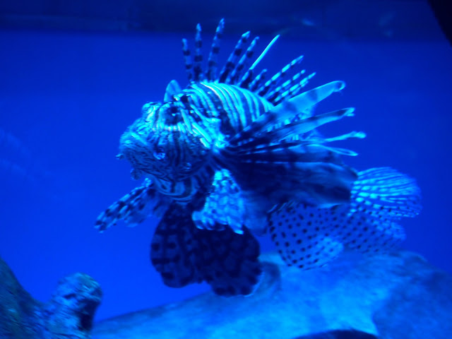 Lion-fish in the Grand Aquarium, Ocean Park, Hong Kong