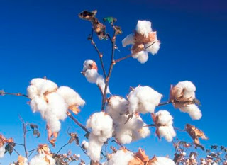 How Is Cotton Made Into Yarn Into Fabric Step By Step (1)