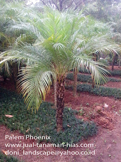 JUAL POHON PALEM PHOENIX | TUKANG TAMAN LANDSCAPE