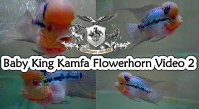 First-day introduction video of King Kamfa Flowerhorn