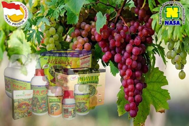 Cara Menguntungkan Budidaya Tanaman Anggur
