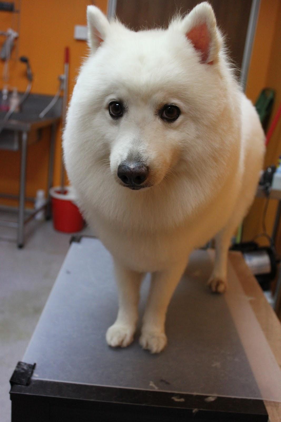 Photo Of The Entire Plant Of Dog Fennel Eupatorium: Japanese Spitz With Beautiful Eyes