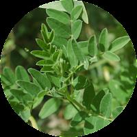 Herbal astragali dalam ICP capsule