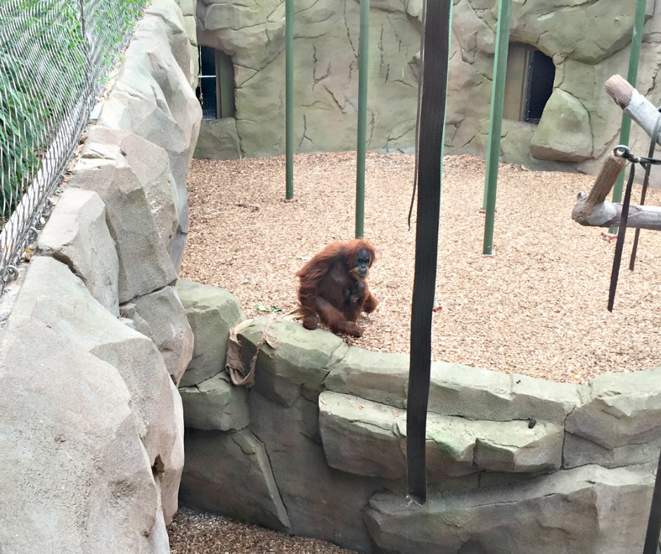 A mother and baby orang-utan in their enclosure at Chester Zoo