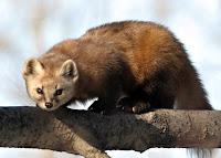 Ağaçta sansar hayvanı