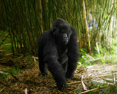 "6 Days Gorilla Trek & Wildlife Uganda The 6 days gorilla trek and wildlife safari in Uganda takes you to Bwindi impenetrable national park"" />"