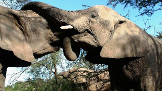 Gajah Sumatera Hewan Langka Di Indonesia dan Penjelasannya