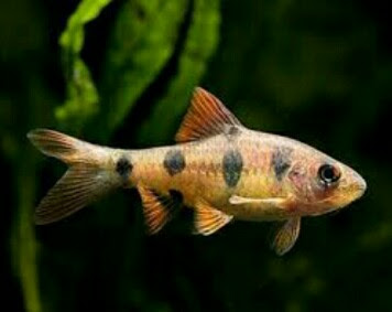 ikan hias harimau sumatera