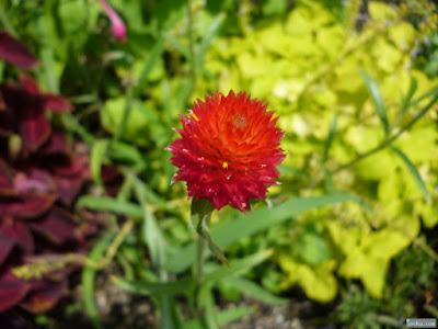赤くて丸い花