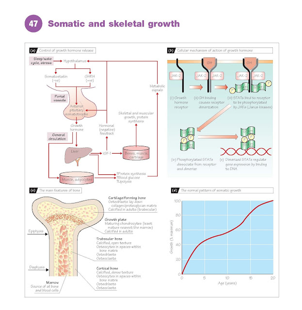 Somatic And Skeletal Growth