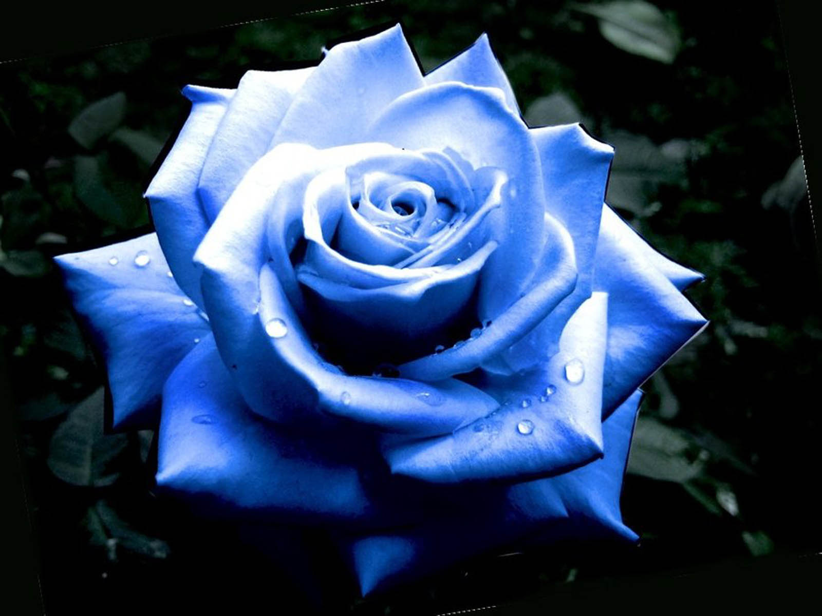 HD Wallpapers: Blue Roses Pictures