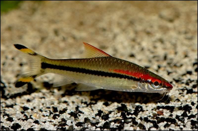 Ikan Yang Peka Terhadap Garam Ikan Atau Garam Akuarium-Red Line Torpedo Barb