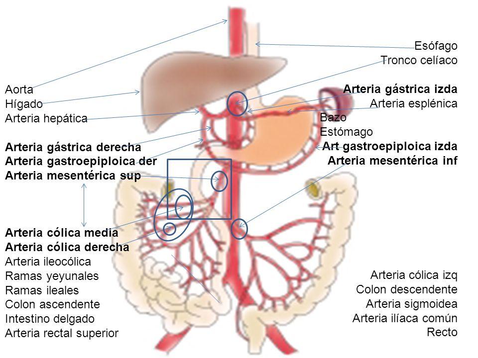 Excelente Anatomía De La Arteria Gástrica Derecha Modelo - Anatomía ...