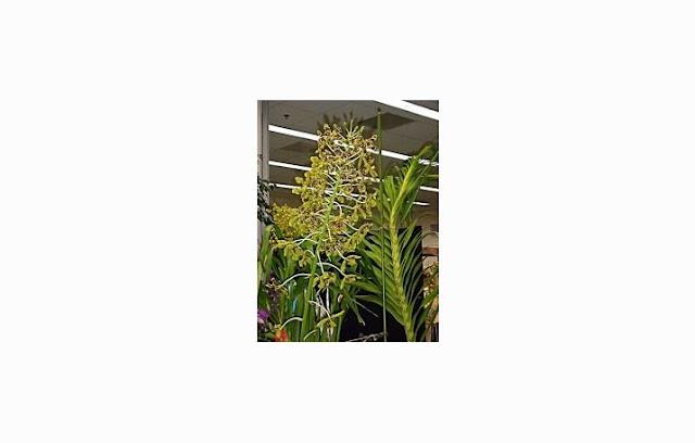 Anggrek Tebu (Grammatophyllum Speciosum)