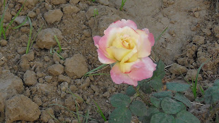 Rose Flower in National Rose Garden Delhi 2080