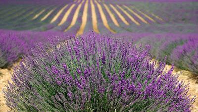 cara menghilangkan bau kaki akut dengan minyak lavender