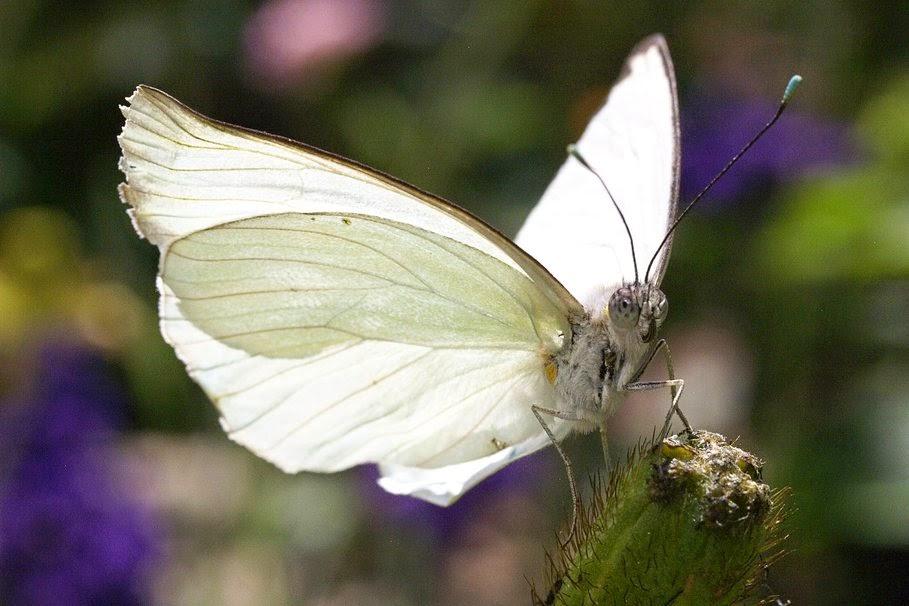 Butterfly 73: La Mariposa Blanca