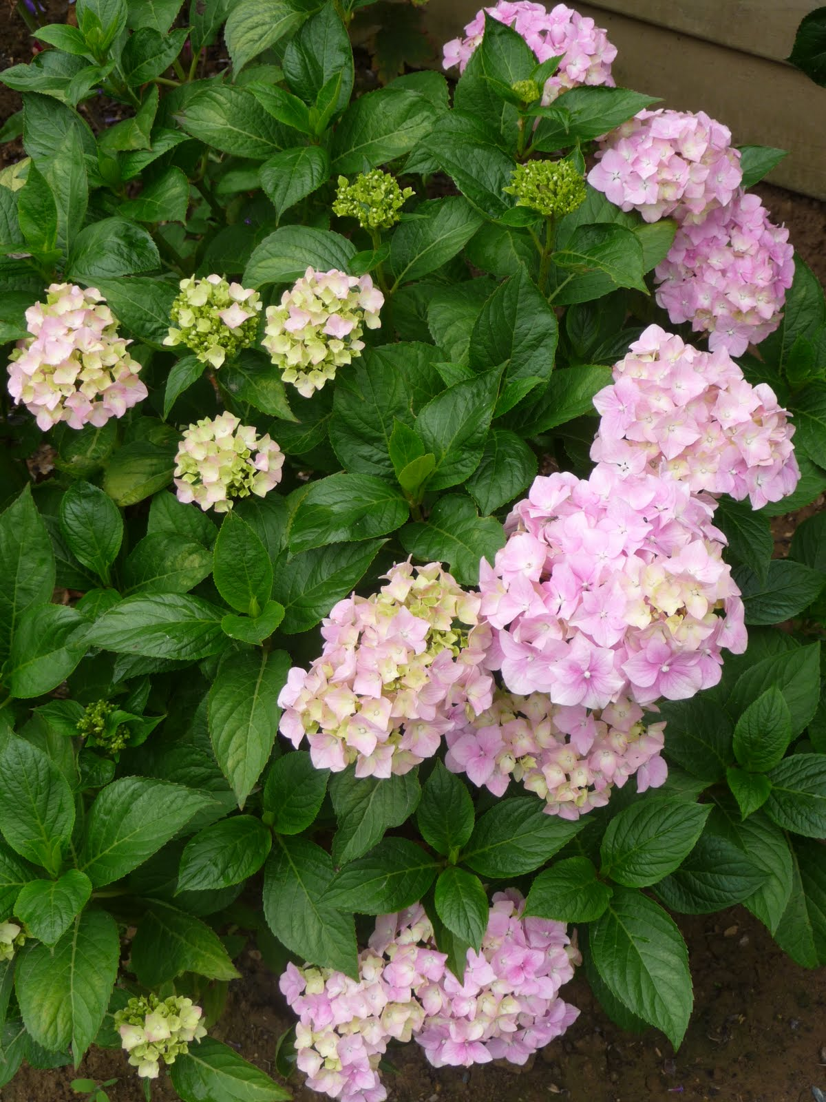 Ma terre de bruy re pas d courag e - Quand faut il couper les fleurs fanees des hortensias ...