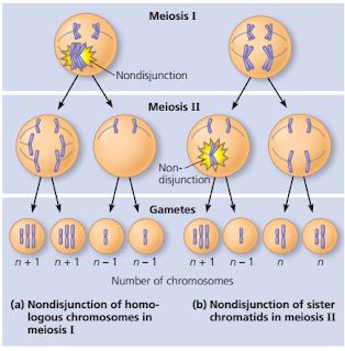 """Aneuploidy : monosomi dan trisomi serta Penyakit yang Ditimbulkannya, Mekanisme Terjadinya Aneuploidy (Monosomi dan Trisomi), Penyakit Akibat Aneuploidy (monosomi dan trisomi), mutasi kromosom, nondisjunction adalah, aneuploidy adalah, monosomi adalah, down syndrome adalah, trisomi 21 adalah, peluang terkena down syndrome, Klinefelter syndrome adalah, genotipe XYY, genotipe XXX, Turner syndrome adalah, Delesi adalah, Duplikasi adalah, Inversi adalah, Translokasi adalah,  Sindrom cri du chat (""""cry of the cat"""") adalah, chronic myelogenous leukemia (CML) adalah"""