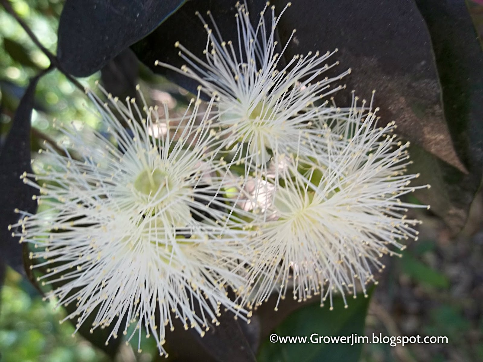 Garden Adventures: Syzygium Smithii (Lilly Pilly