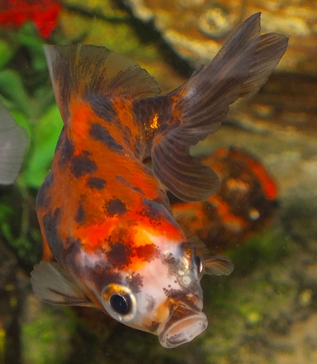 500 Koleksi Gambar Binatang Ikan Mas HD Terbaik