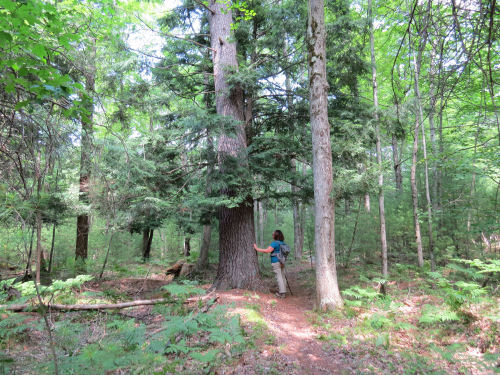 big hemlock tree