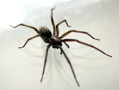 Fjerne edderkopper