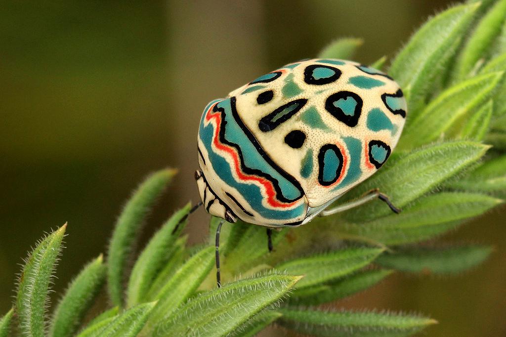 Entomologando la cimice picasso for Cimice insetto
