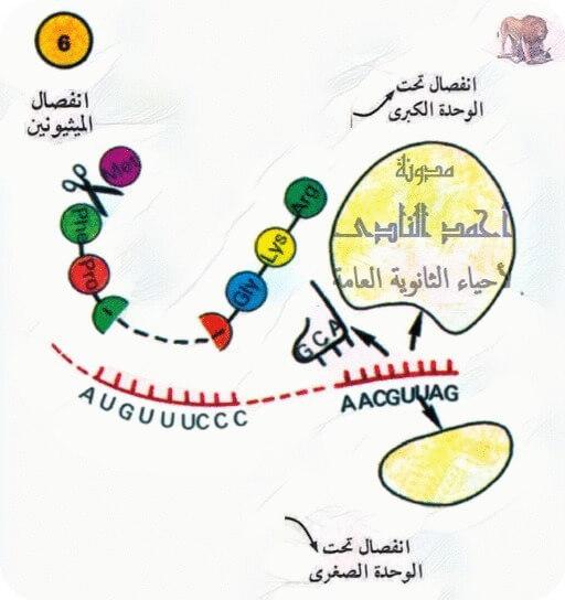 تخليق البروتين – أحياء الثالث الثانوى -  برتين عامل الإطلاق - إنفصال تحت وحدة كبرى و تحت وحدة صغرى